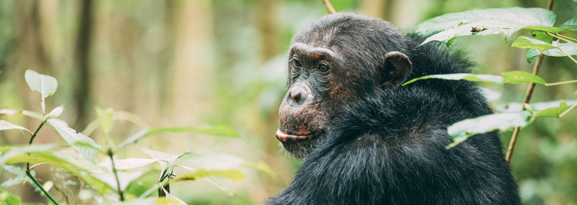 Africa's Great Apes