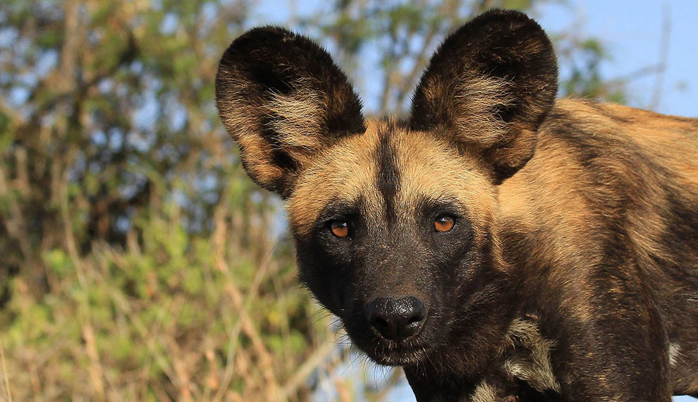 Top 5 Safari Destinations to see Wild Dog