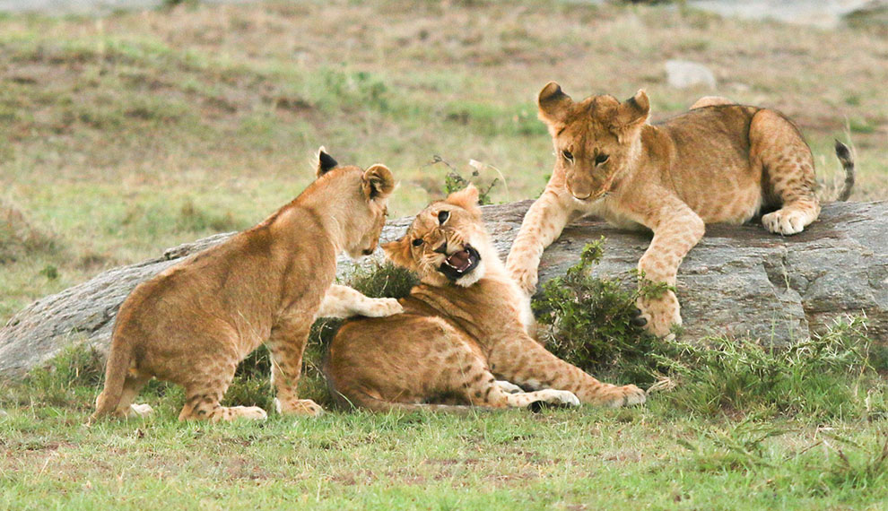 Top 5 Safari Destinations to see Lions